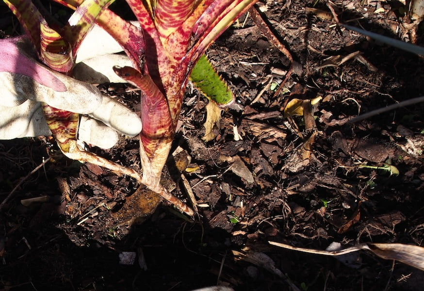 Replant separated bromeliad pups near the soil surface