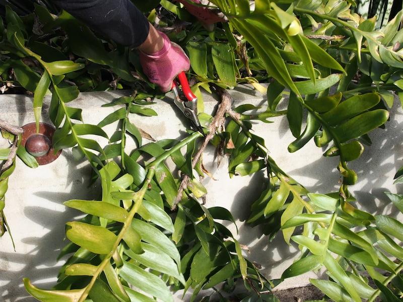 Remove damaged Epiphyllum stems at the base
