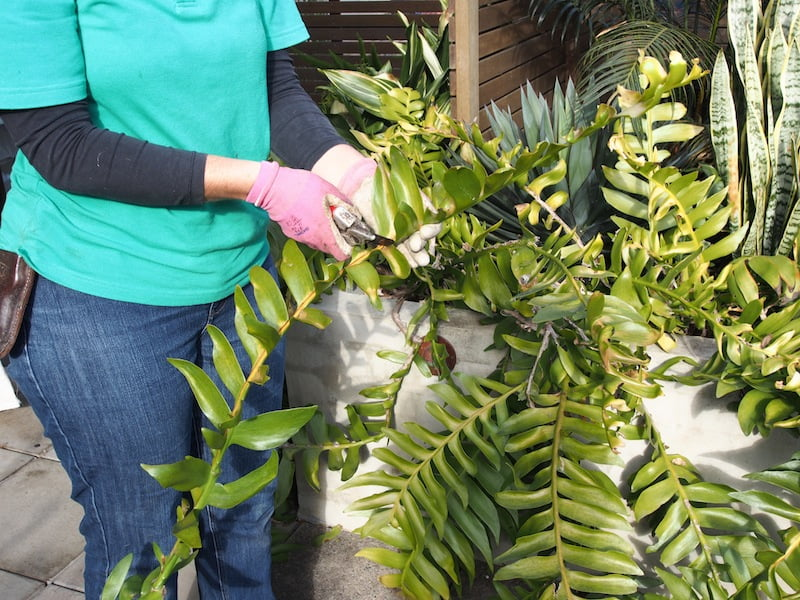 Cut Epiphyllum stems into sections to make cuttings