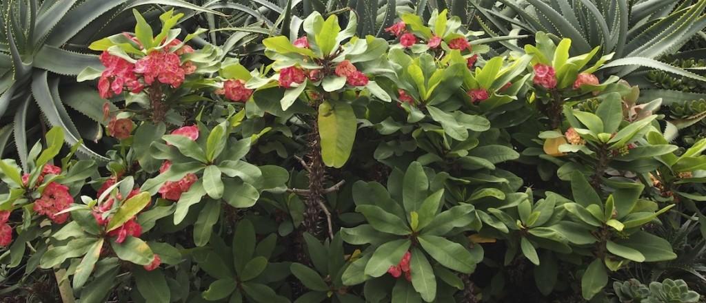 Poysean Euphorbia