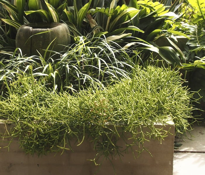 Rhipsalis is a good spillover plant