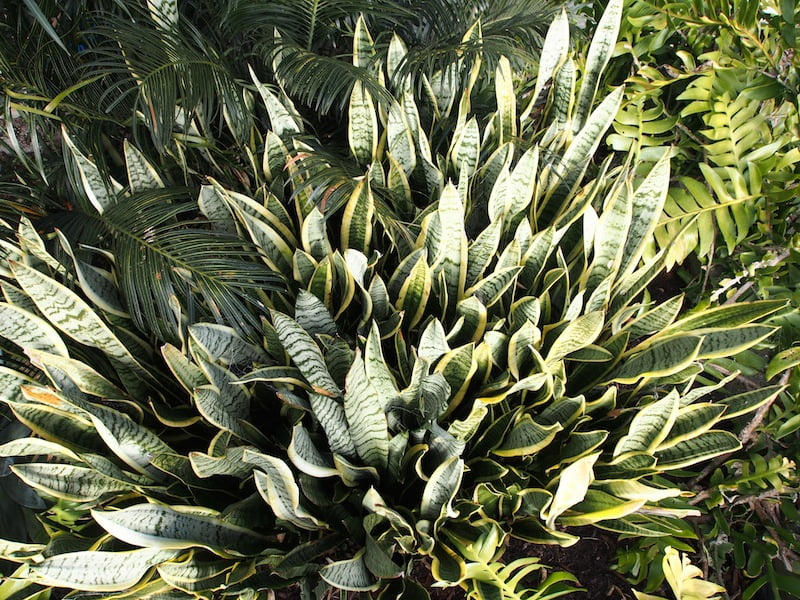 A large, spreading clump of Sansevieria