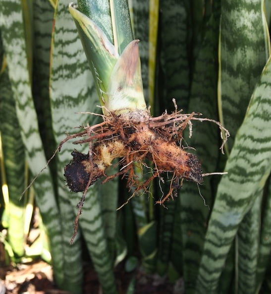 Divided Sansevieria ready to replant