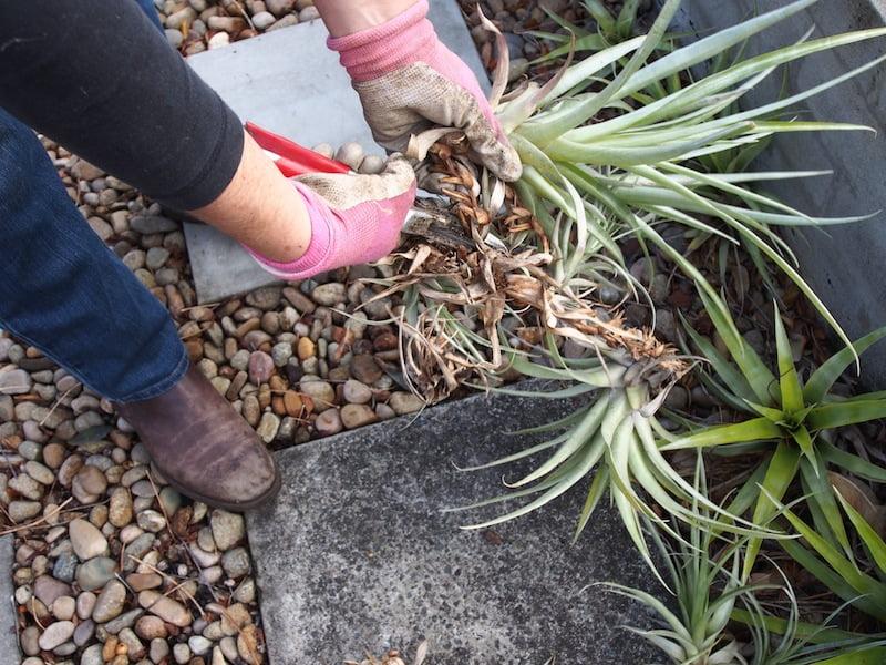 Cut Tillandsia apart to replant