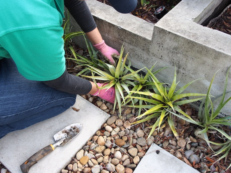 Use Tillandsia in hot, dry places