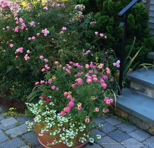 Rosa 'The Fairy' with pink Lantana and white Scaevola