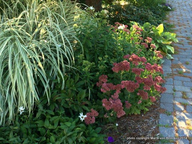 Sedum 'Autumn Joy' with Miscanthus sinensis 'Variegatus'
