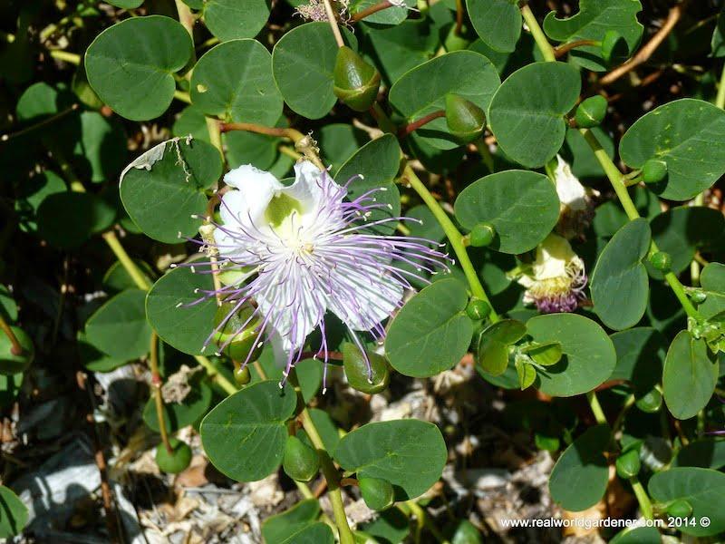 Caper flower