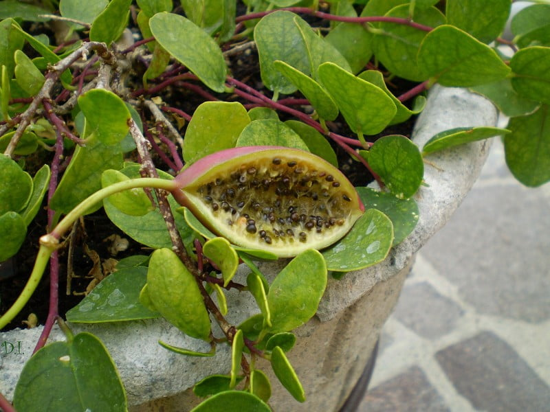Capparis fruit Photo by Clematis