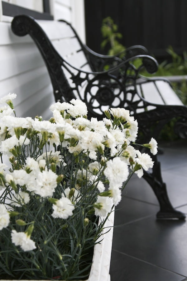 Dianthus 'Memories' - plant a tub of it near where you sit to enjoy the fragance