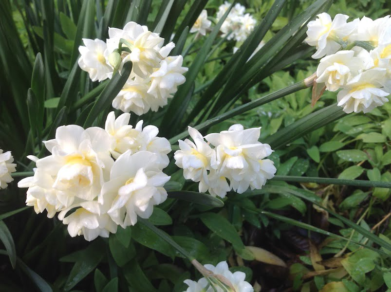 Fragrant and pretty in the garden, 'Erlicheer' also look good picked for the vase
