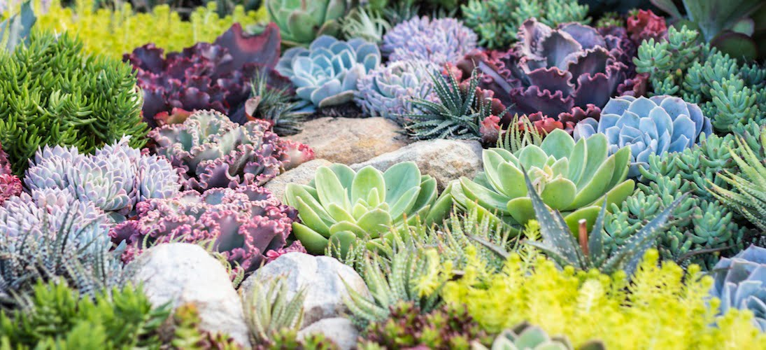 Coral Succulent Garden. Design Phil Withers