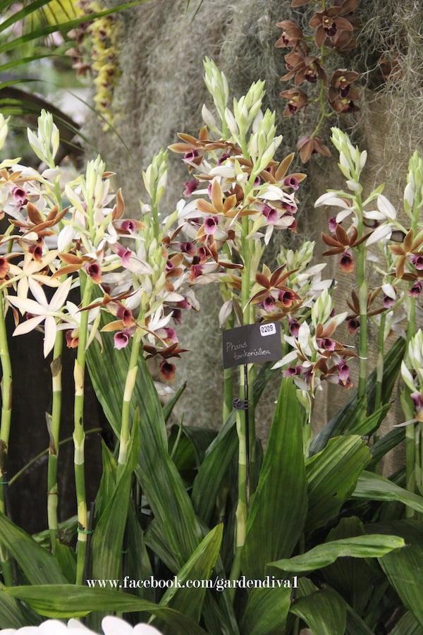 Orchid Phaius tankervilleae