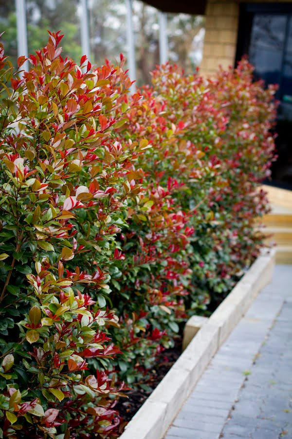 Syzygium Big Red grown as an informal screen or hedge