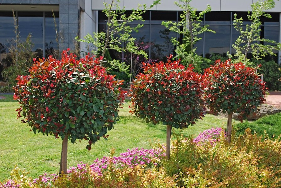 Syzygium 'Big Red' clipped as topiary standards