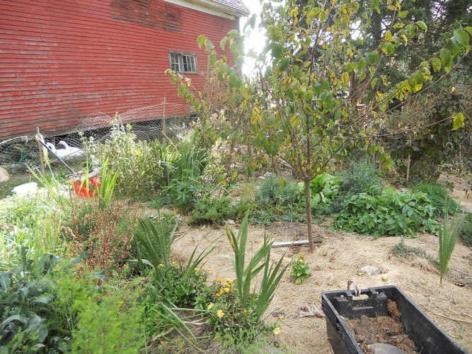 Permaculture garden with a fruit tree, herbs, flowers and vegetables mulched with hay Photo Gandydancer
