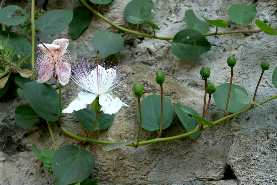 Capparis growing in northern Italy