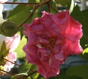 hibiscus mutabilis new flower