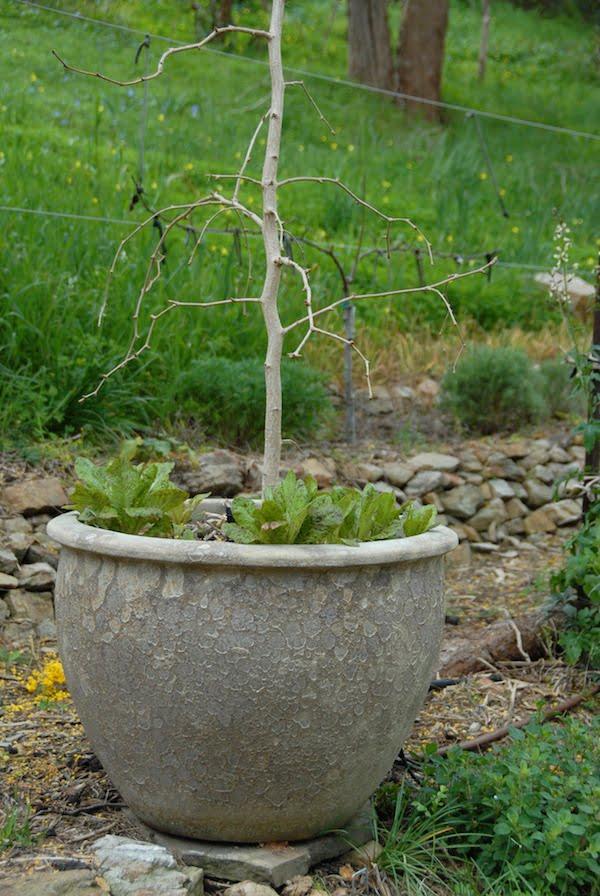 Lettuce naturalised under potted ginkgo