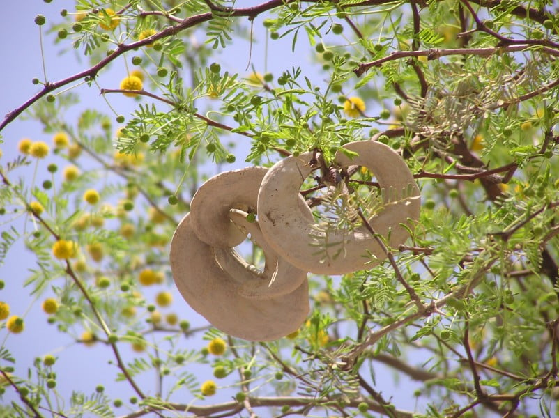 African Vachellia erioloba, formerly Acacia erioloba Photo Winfried Bruenken