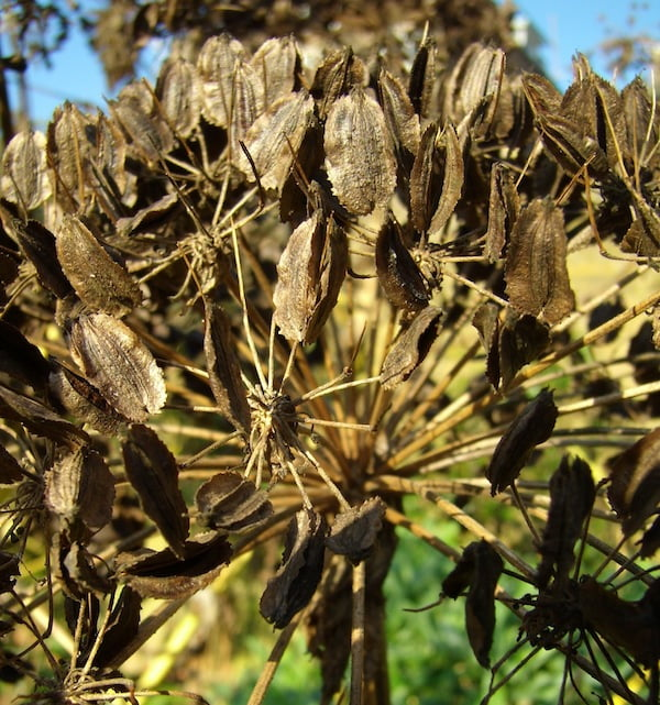 Angelica archangelica seedhead