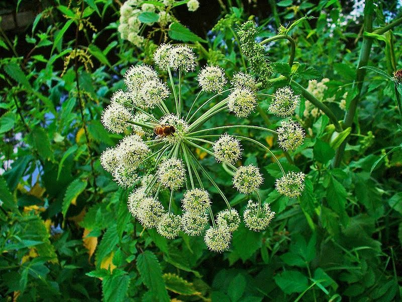 Angelica archangelica. Photo H. Zell