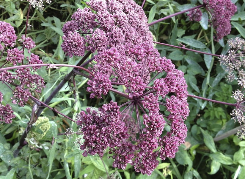 Angelica sylvestris 'Pupurea' purple umbel