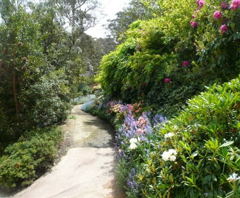 It is blue bell  time on the Rhodo Walk. The Banksia bed is to the left with one birthday candle on view at the path and Banksia serrata above it