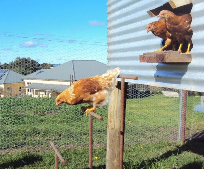 Chook shed with jumping perches to get in and out