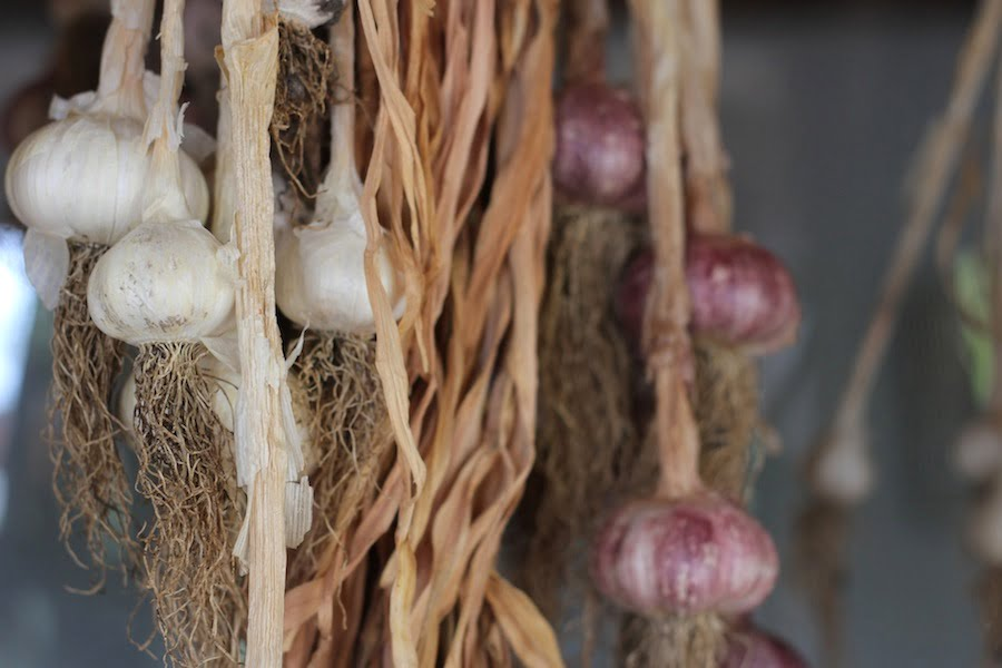 Hang garlic in bunches in a dry, airy position. From 'Garlic' by Penny Woodward