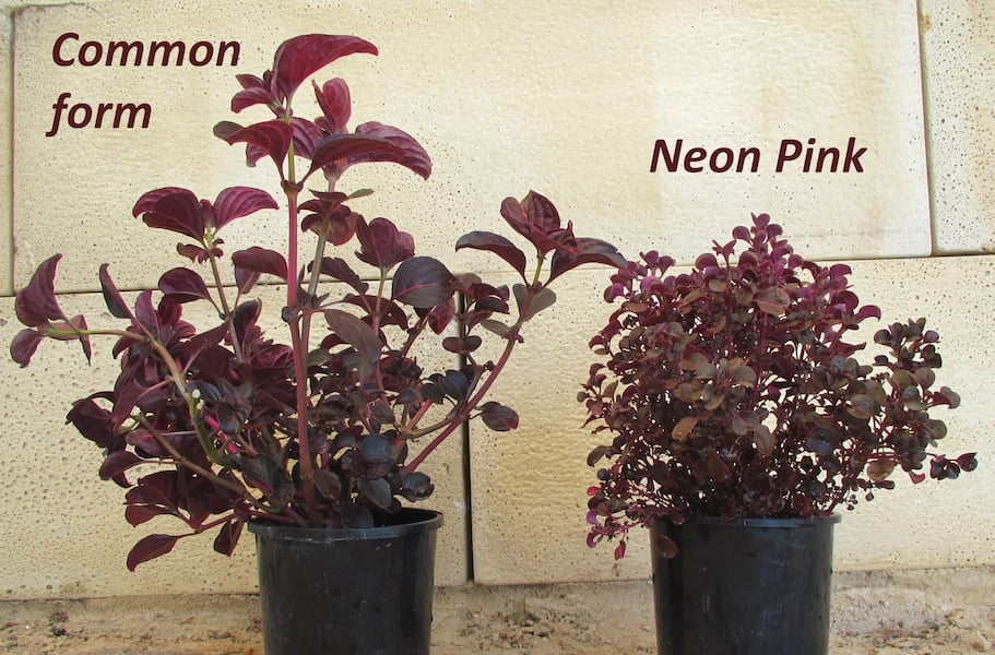 Iresine 'Neon Pink', a compact form from Ozbreed compared to the larger growing cultivar