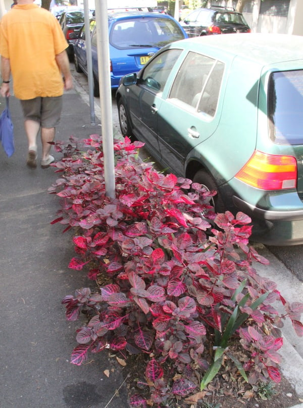 Iresine diffusa 'Vershaffeltii' in streetscape plantings in Sydney