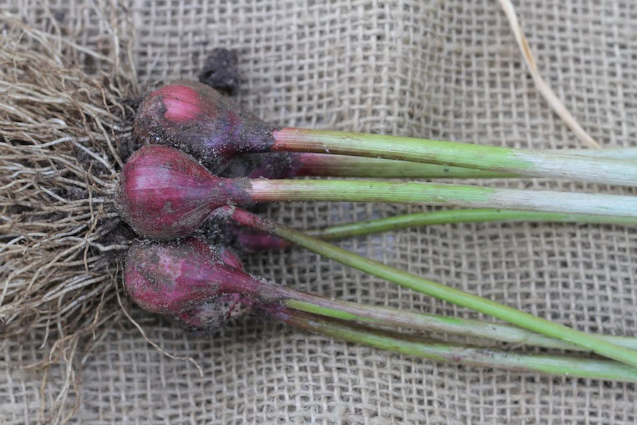 Italian purple garlic picked as green garlic. From 'Garlic' by Penny Woodward