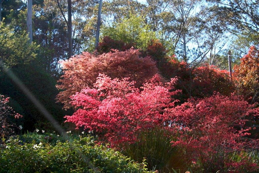 Red maples in Carmel and John Niland's garden NSW