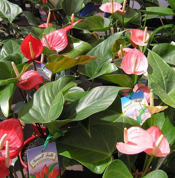 Anthurium 'Small Talk'