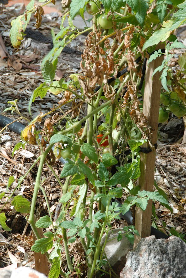 Tomatoes suffering from blight in shady conditions