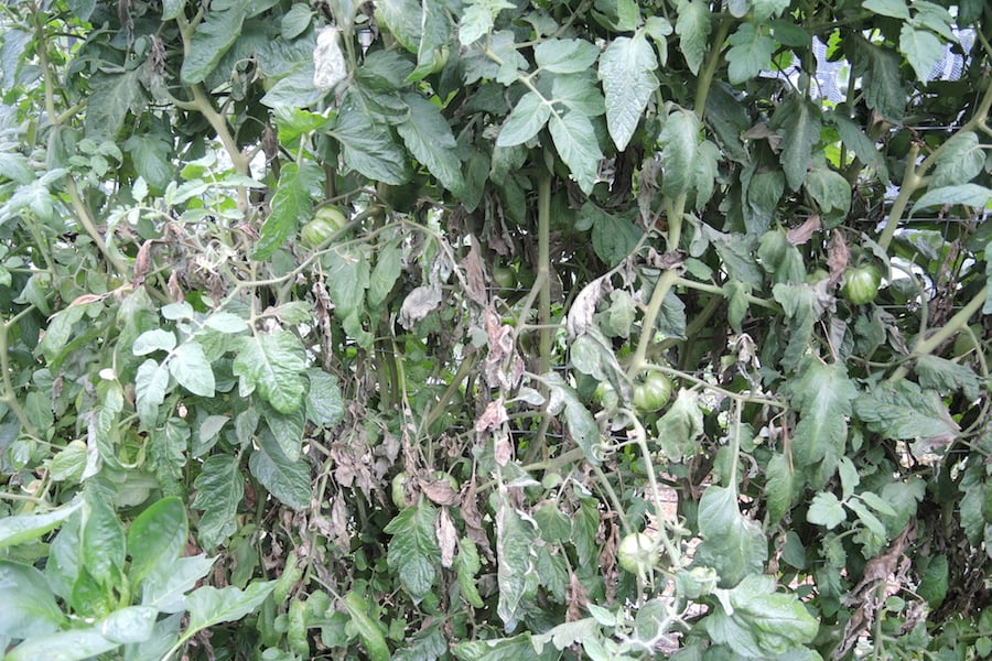 Soft growth on tomatoes is more susceptible to fungal attack