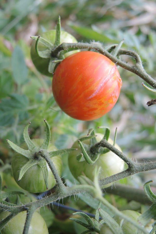 Tigerella tomato