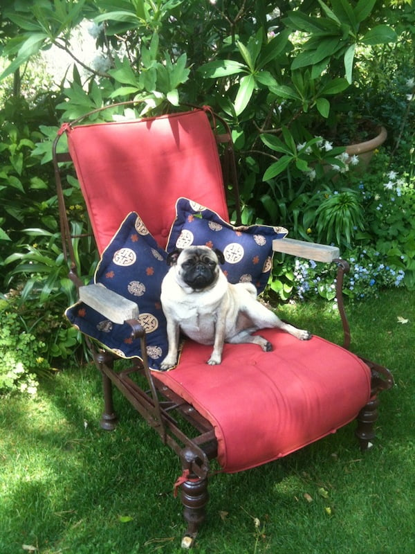 Butterfly the pug enjoys relaxing in the garden