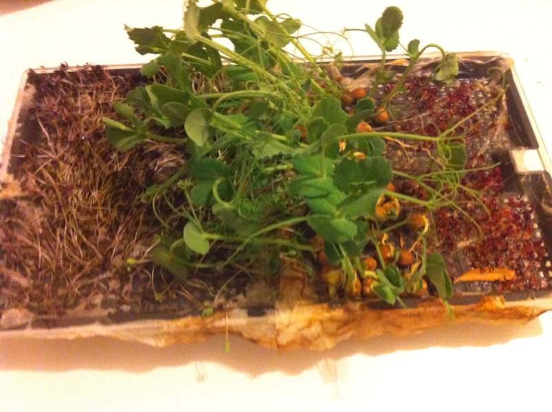 Day 19 Disaster! My microgreens have dried out