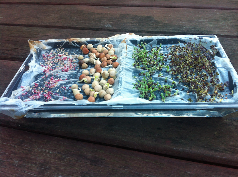 Day 6 Microgreens - all the seeds are sprouting