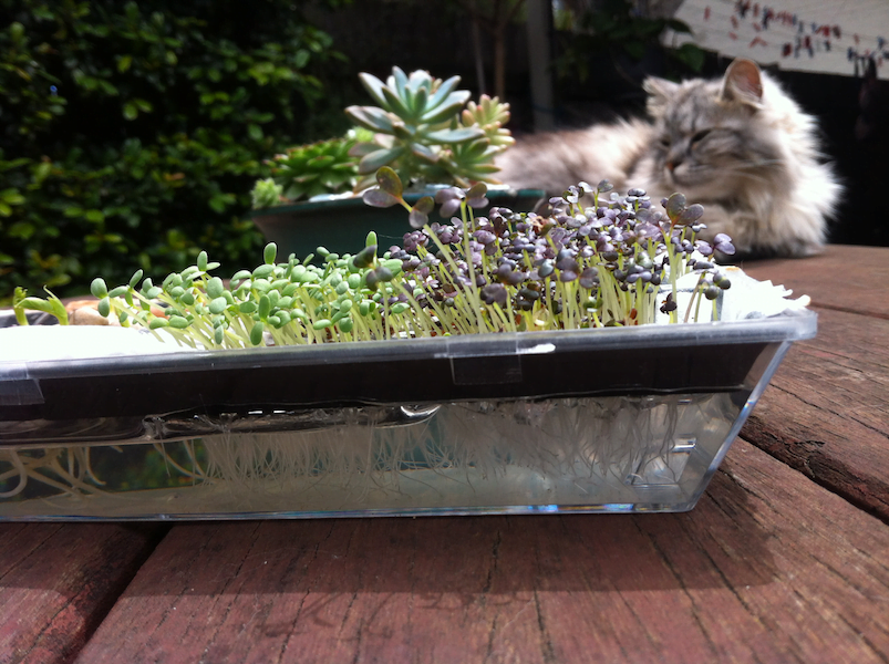 Day 8 - my cat is not impressed by the microgreens