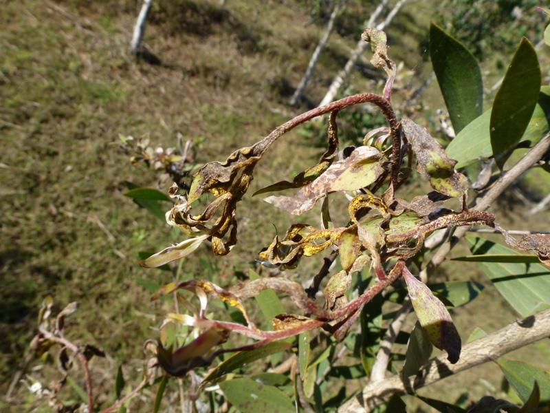 Dieback in Melaleuca quinquenervia caused by myrtle rust (Photo by R. Makinson)