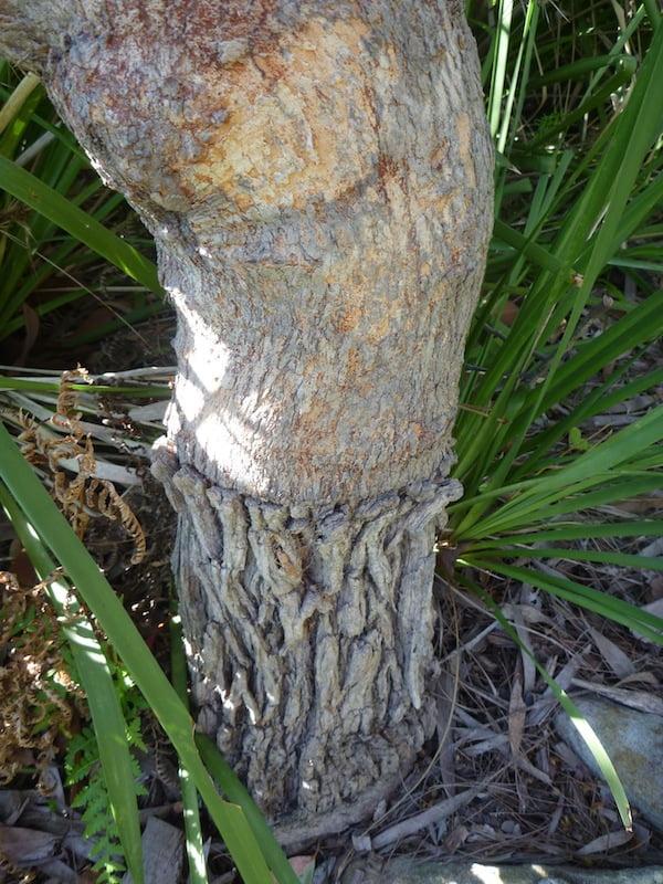Graft union on Corymbia gummifera