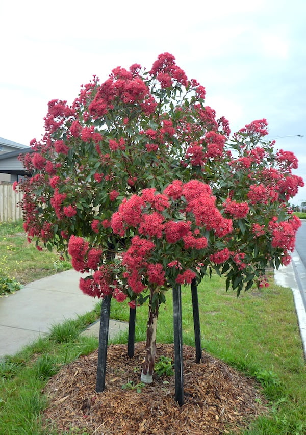 Healthy grafted Corymbia 'Wildfire' tree in streetscape