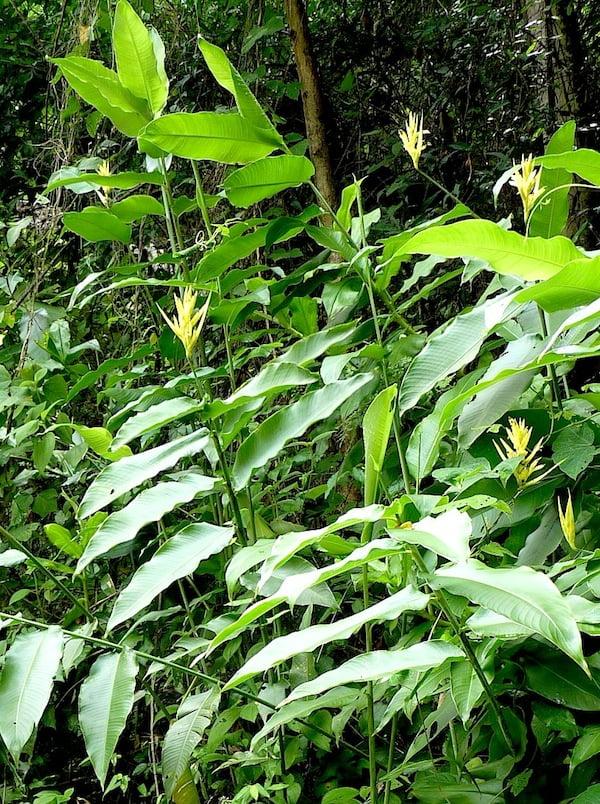 Heliconia hirsuta yellow panama