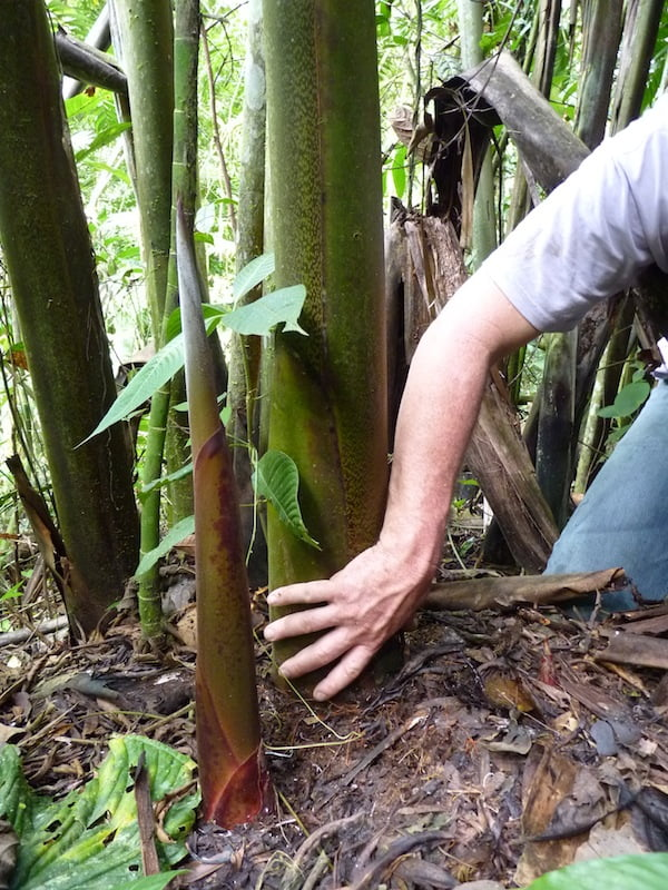 The thickness of Heliconia titanum's stem gives you an indication of its size