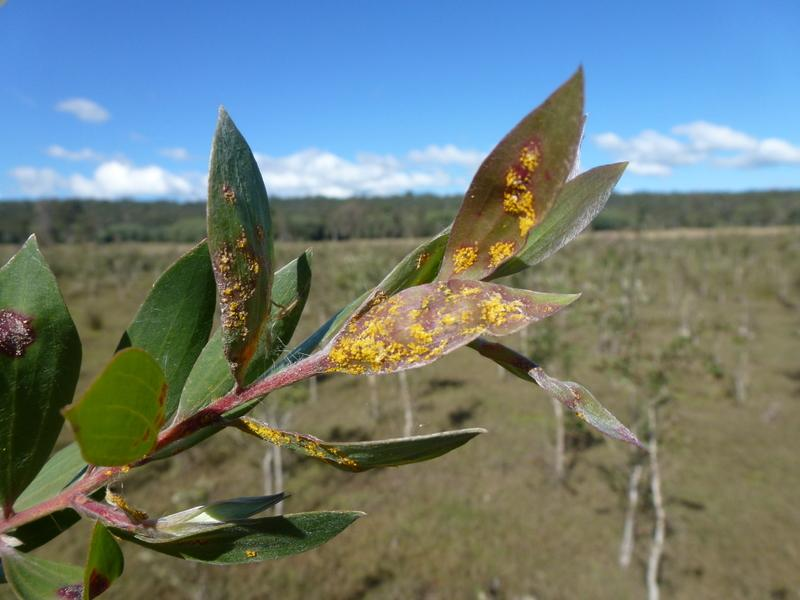 Melaleuca quinquenervia affected by myrtle rust (Photo by R. Makinson)