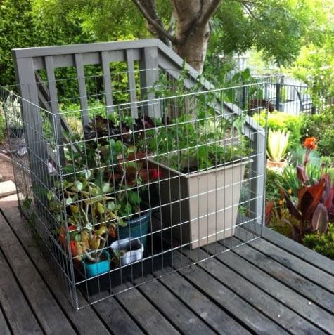 Possum cage around vulnerable plants