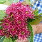 Rich pink flowering gum copy